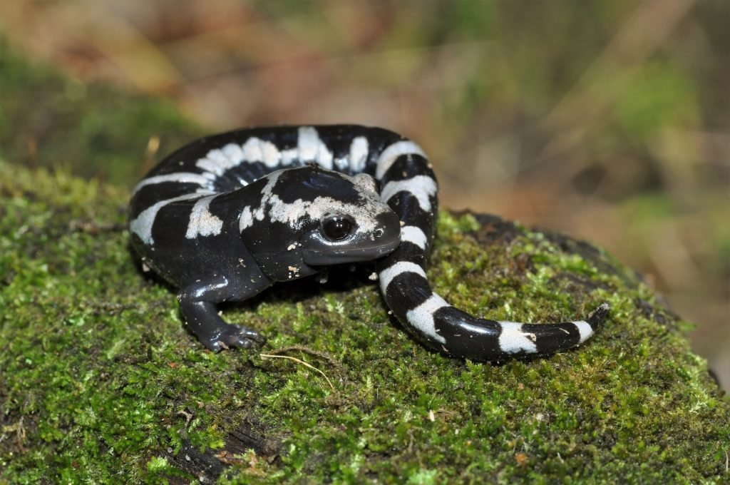 Marbled Salamanders have black-and-gray or marbled gray bodies.