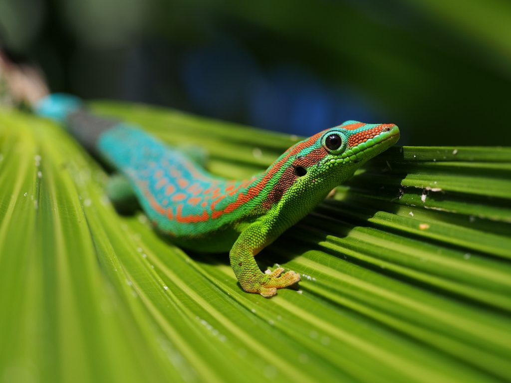 The Mauritius Ornate Day Gecko can sometimes be kept as pets.