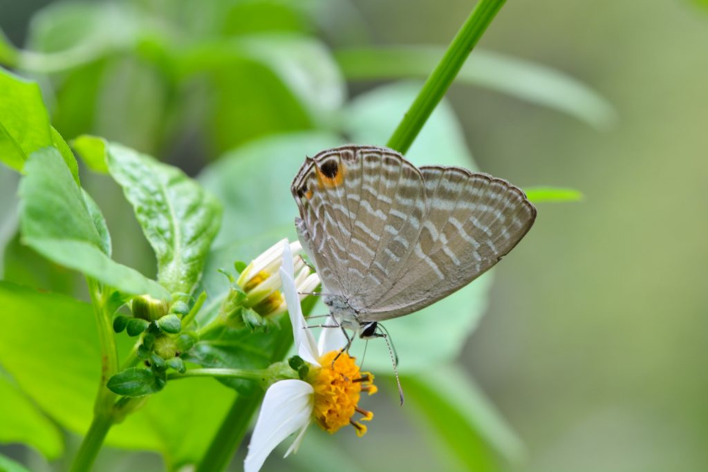 The metallic cerulean is one of the smaller butterflies on the list.