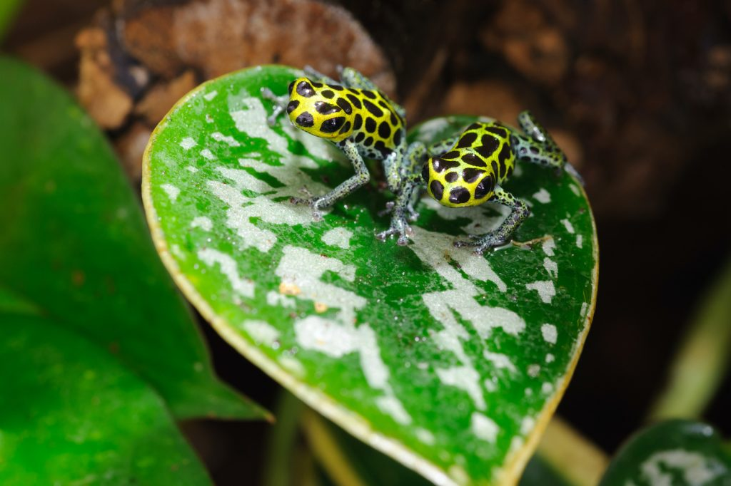 While the mimic poison frog is still toxic, it is much less toxic than many other species.