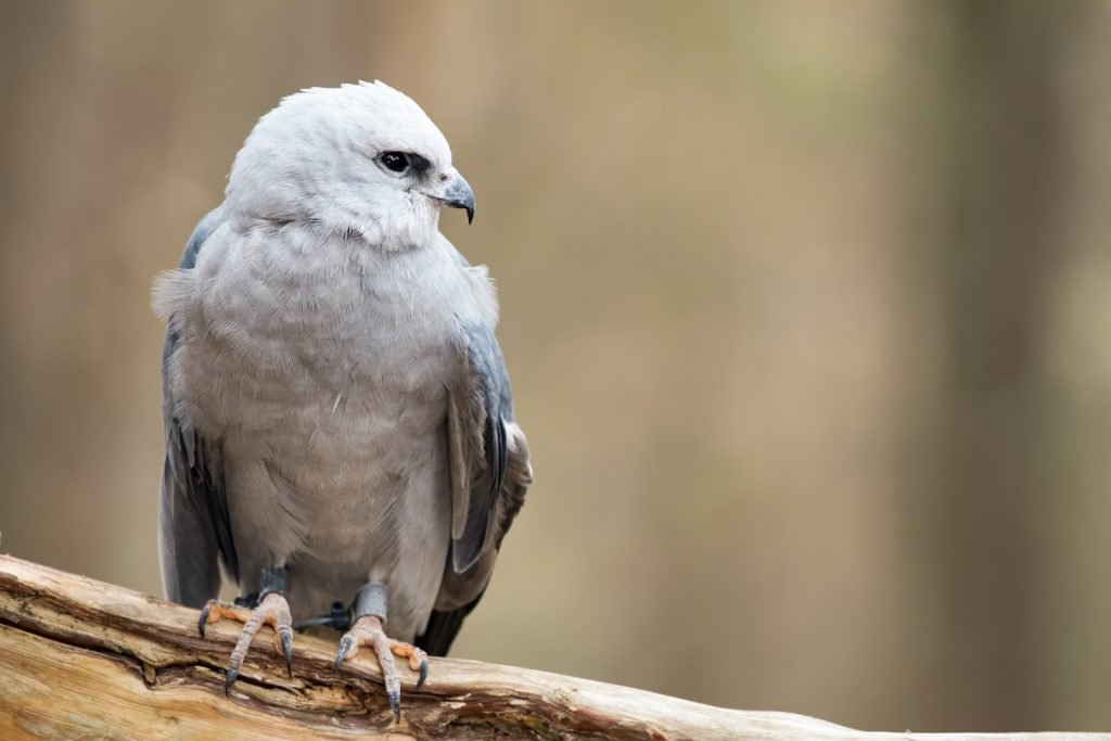 The name of the Mississippi kite is also somewhat misleading.