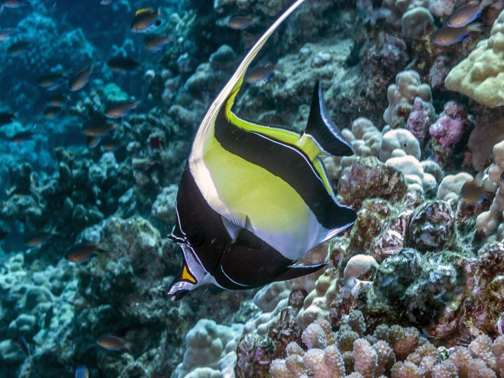 The Moorish idol got its name because the Moor people of Africa believed it to bring happiness.
