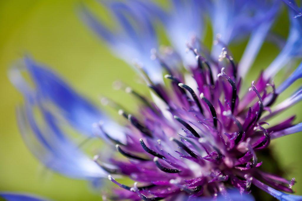 In the garden, the Mountain Cornflower makes a wonderful border plant.