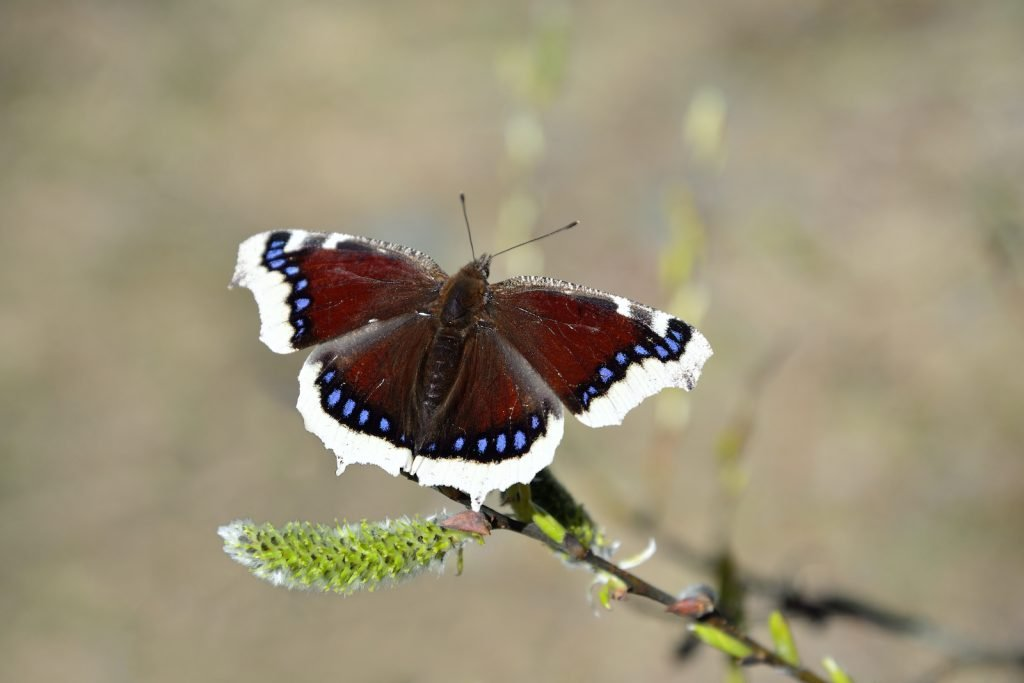 Despite its grim name, the mourning cloak is actually a butterfly with a burst of cheerful color.