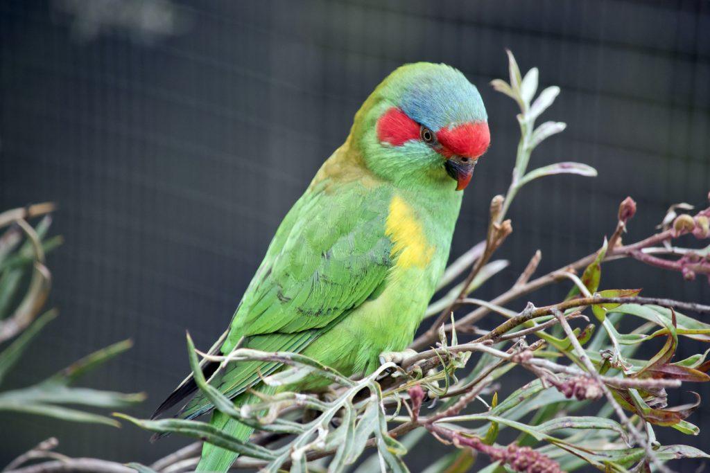 The musk lorikeet is a close relative of the rainbow lorikeet