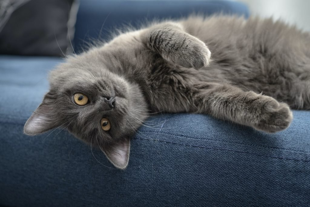 Nebelung Cats are one of the rarest cat breeds on earth.