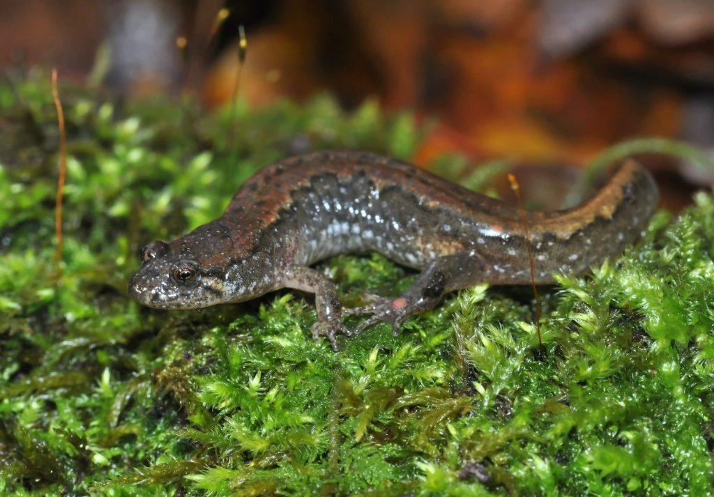 Northern Dusky Salamanders are most commonly found in Canada.