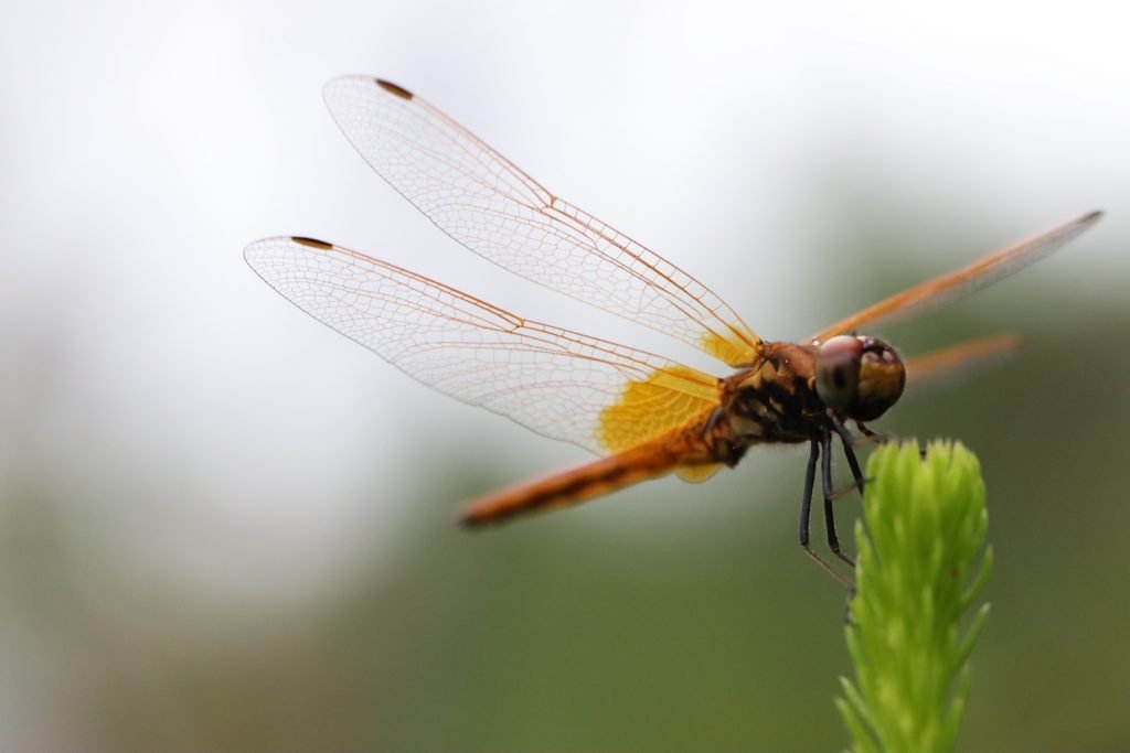 Orange dragonfly rests its wings
