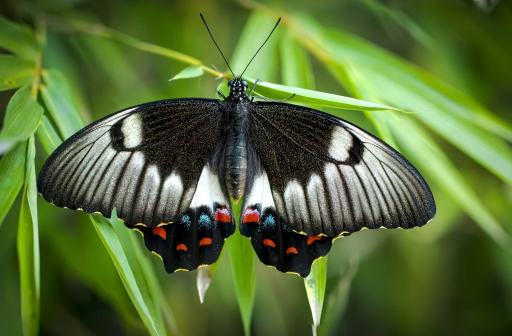 The Orchard Swallowtail is most commonly found in eastern Australia.