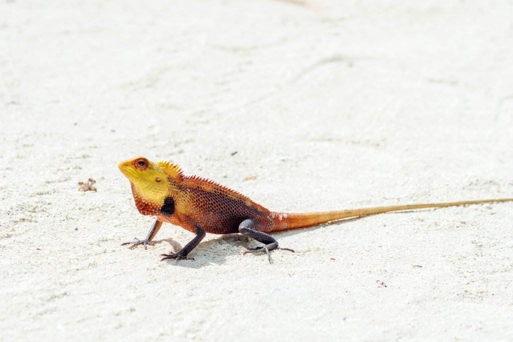 The Oriental Garden Lizard is sometimes called the