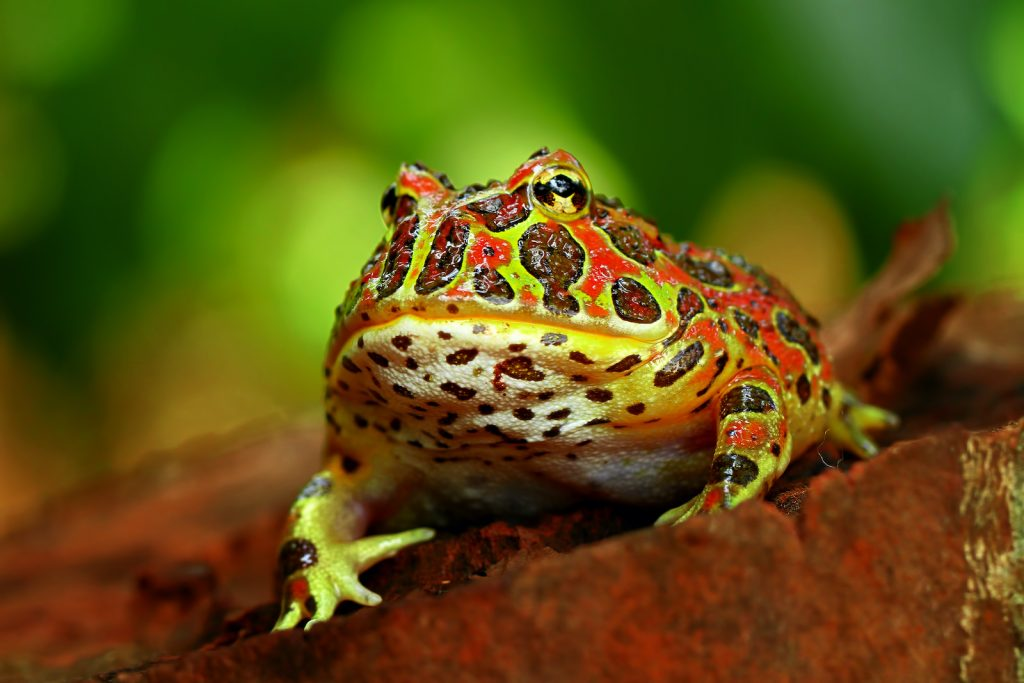 Ornate Pacman Frogs are typically bright green in color with bright red markings.