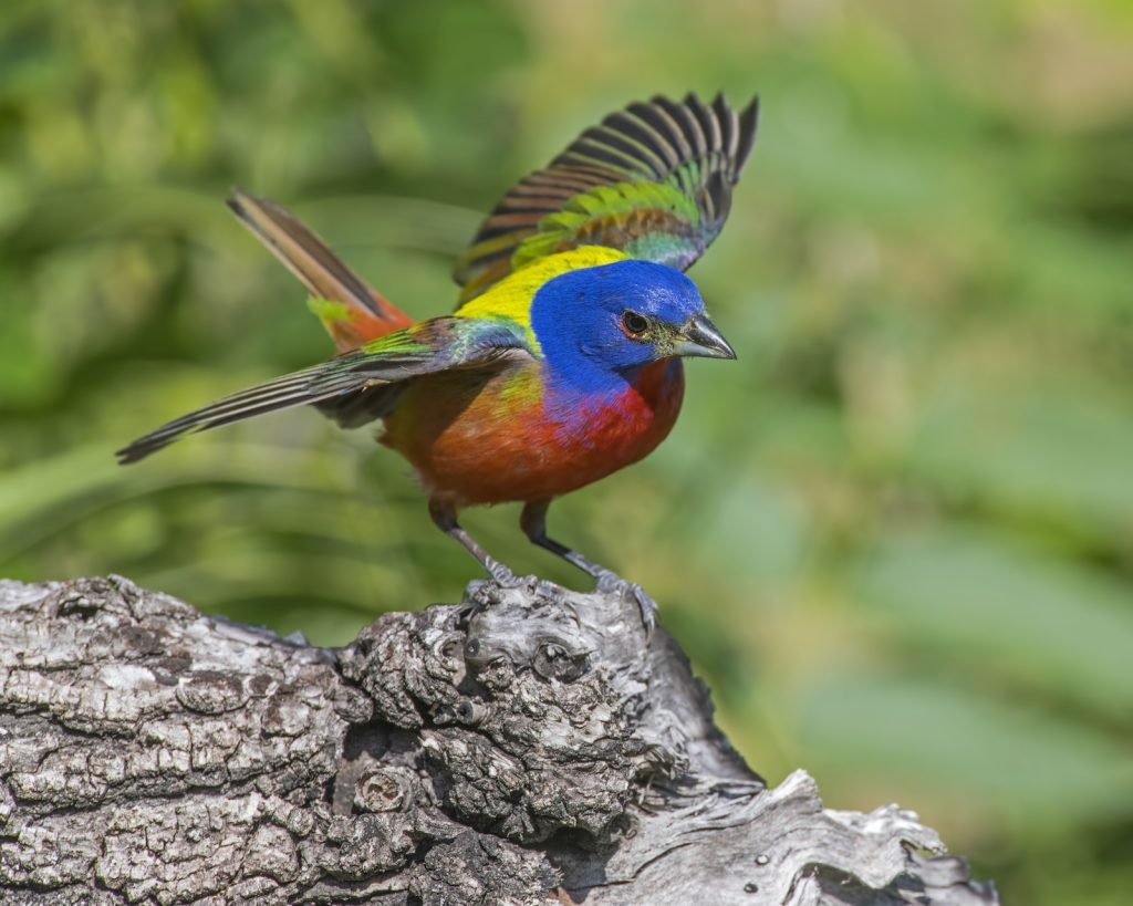 The painted bunting spends most of its breeding season in parts of the southeastern U.S.