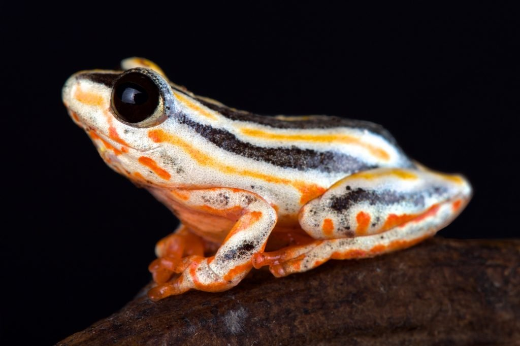 Unlike many of the frogs on the list, marbled reed frogs do fairly well when living near humans.