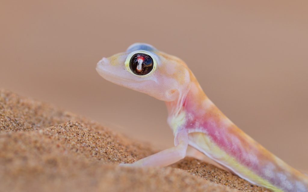 Like the crested gecko and some other varieties, the palmato gecko has no eyelids.