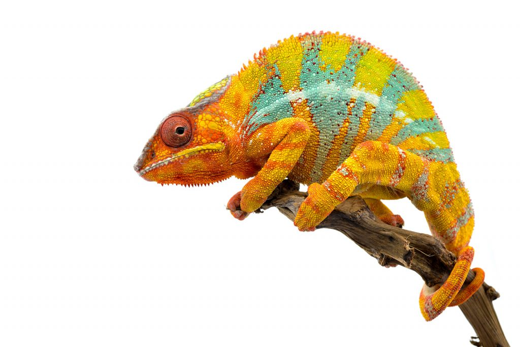 The panther chameleon is one of the better-known species of chameleon.