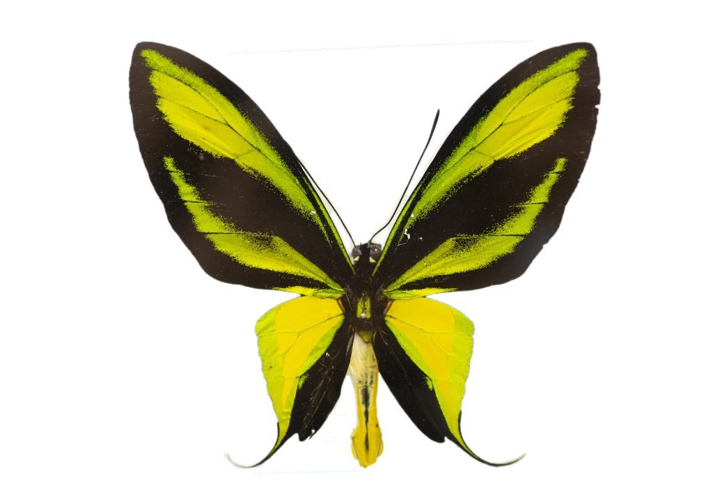 The paradise birdwing is another of the large and brilliantly colored birdwings on the list.
