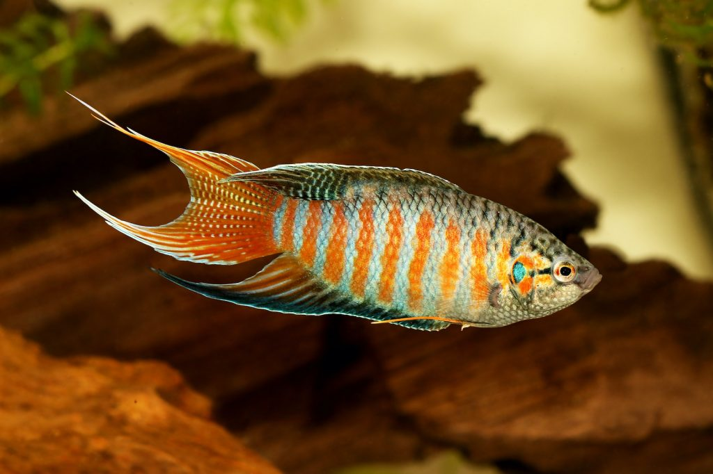 The Paradise Gourami frequently attack members of their species and others.