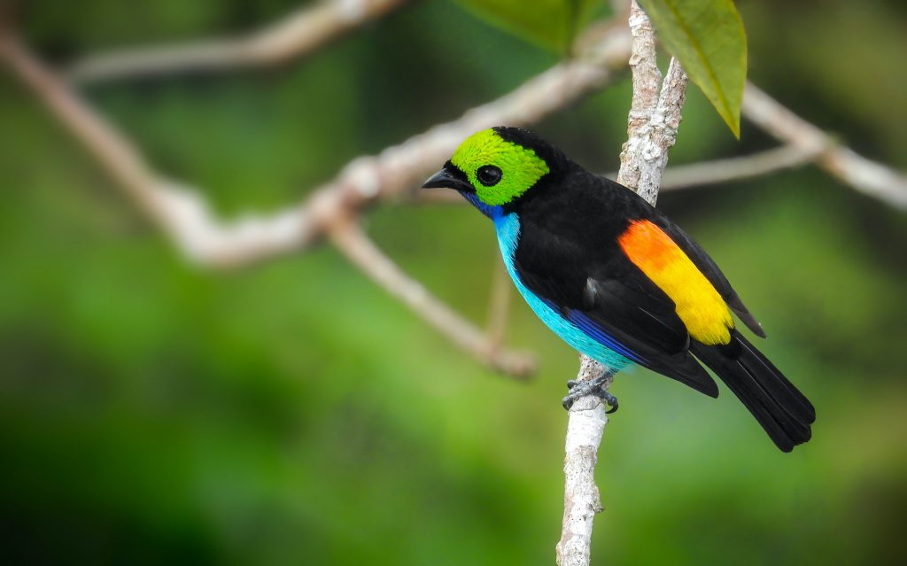 The Paradise Tanager is probably one of the most neon-colored birds in the world.