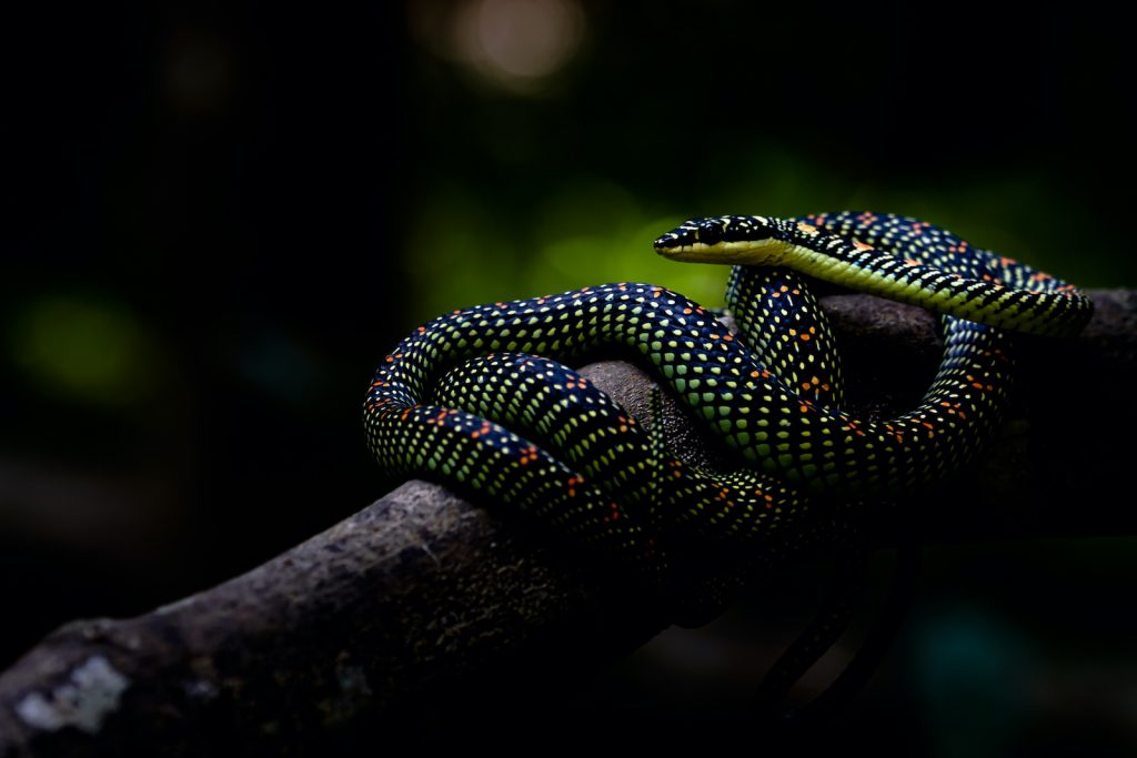 The paradise tree snake is one of the most impressive gliding snakes in its genus.