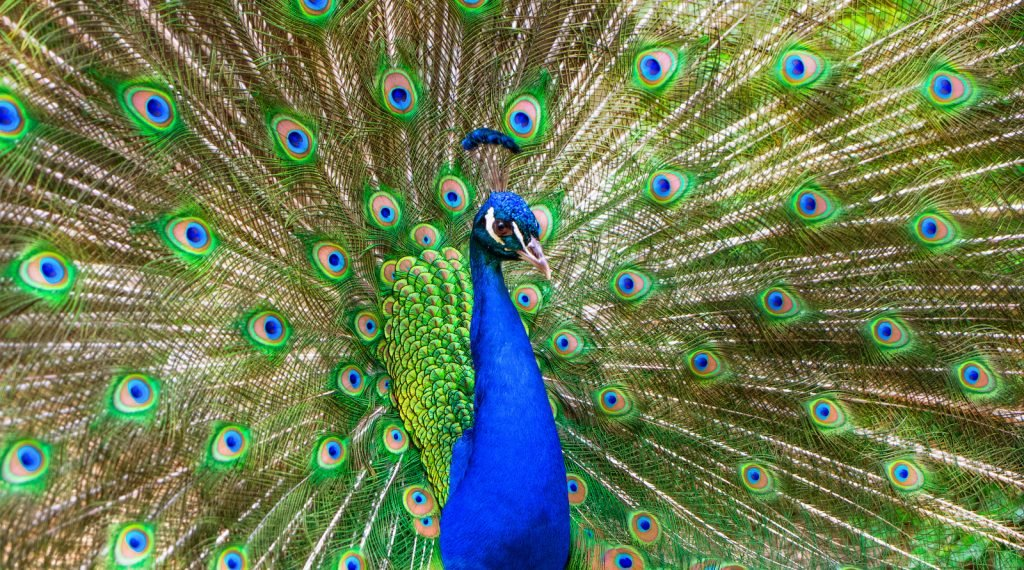 Male peacock with open feathers