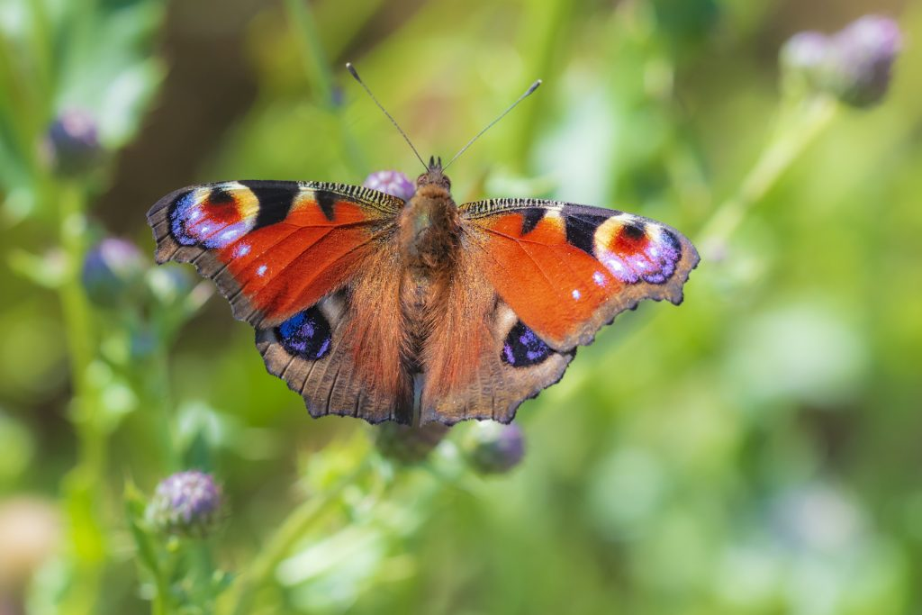 The peacock butterfly is one of the most brilliantly colored butterflies on the list.