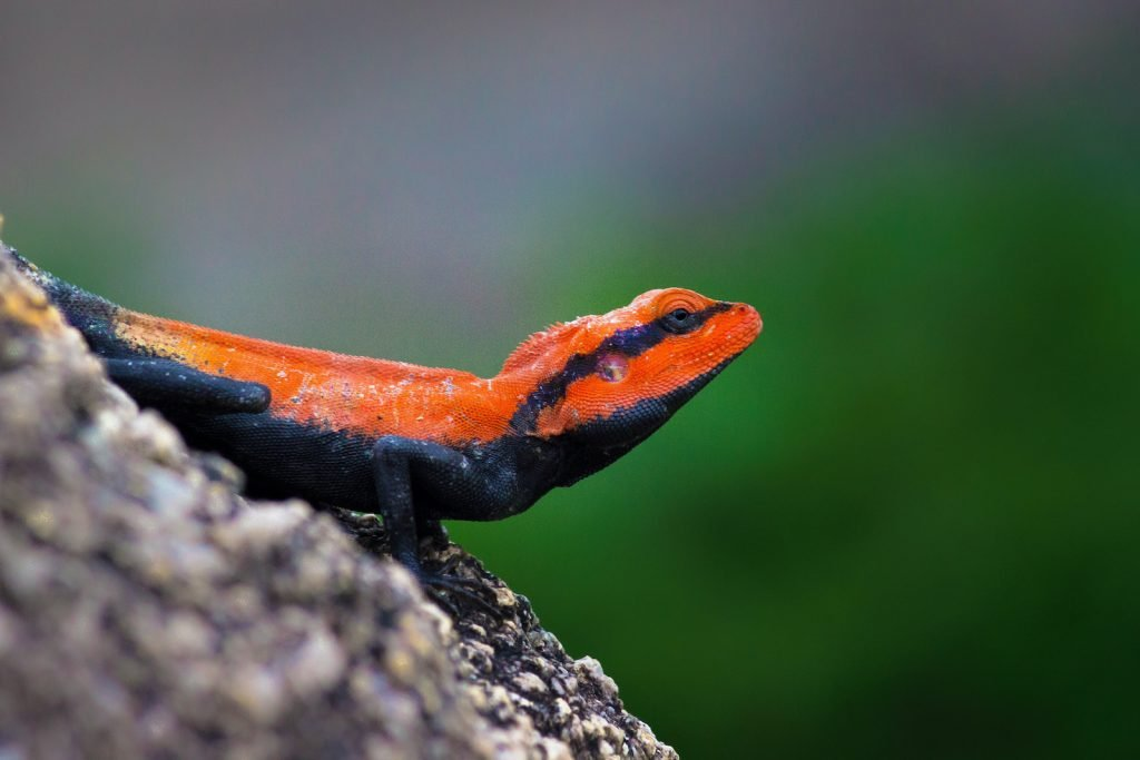 Agamas are certainly one of the more colorful lizard families, and the peninsular rock agama has an unusual color.
