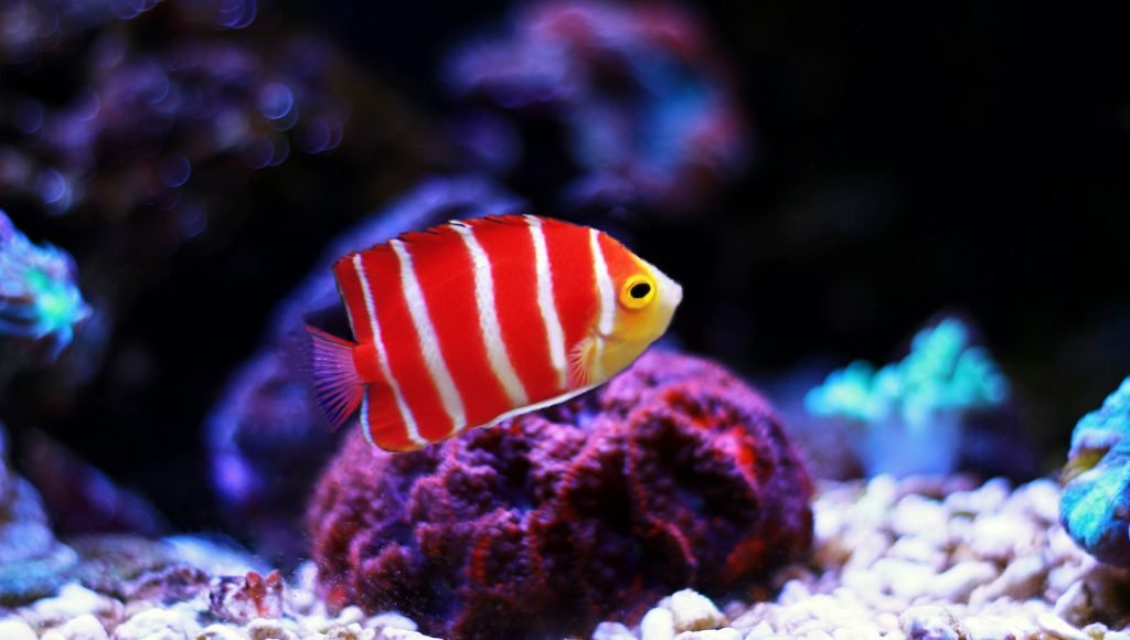 Peppermint angelfish can sell for as much as ,000!