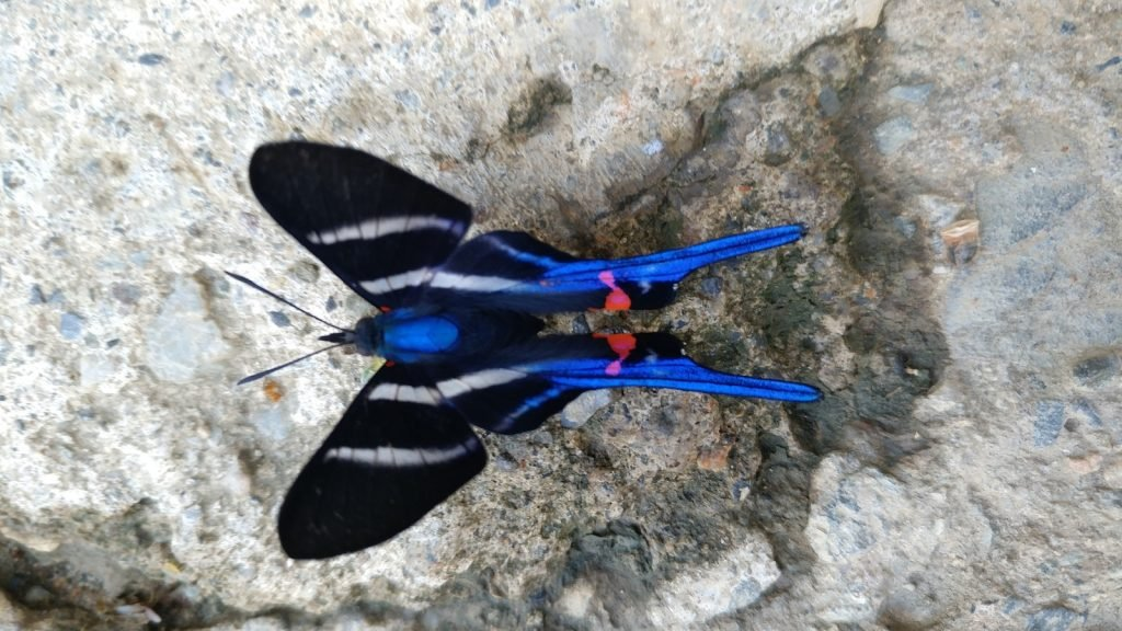 Periander Metalmark have some of the most elegantly shaped wings.