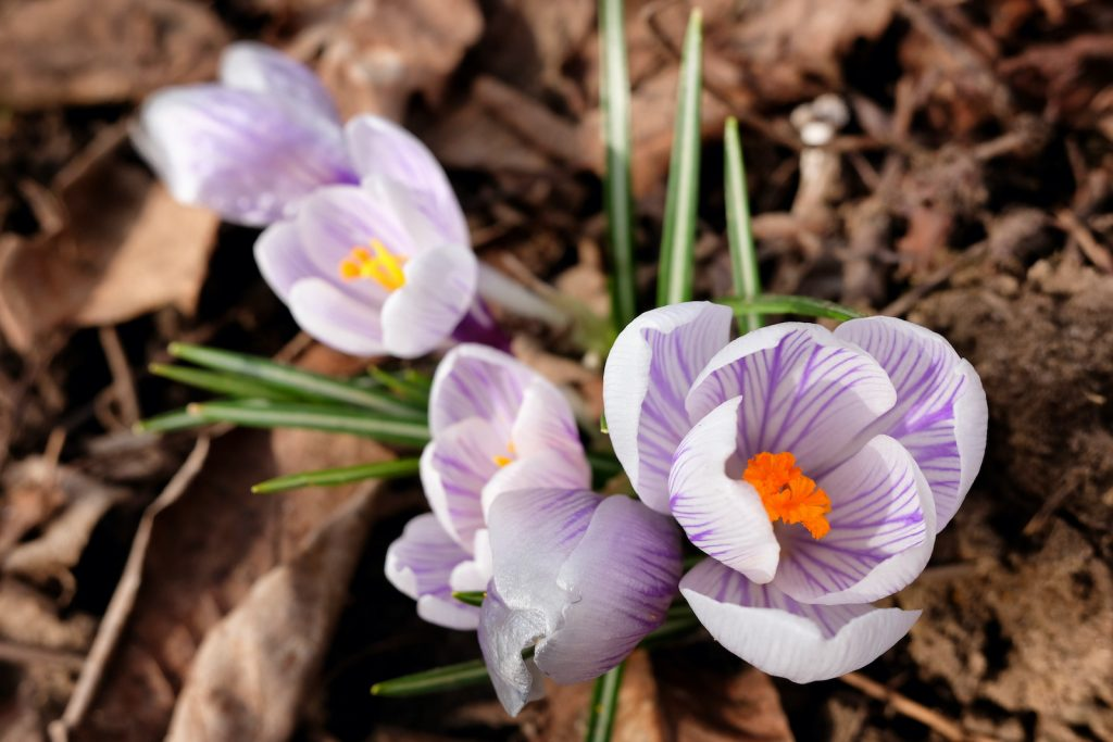 As an ornamental plant, the Pickwick crocus is outstanding.