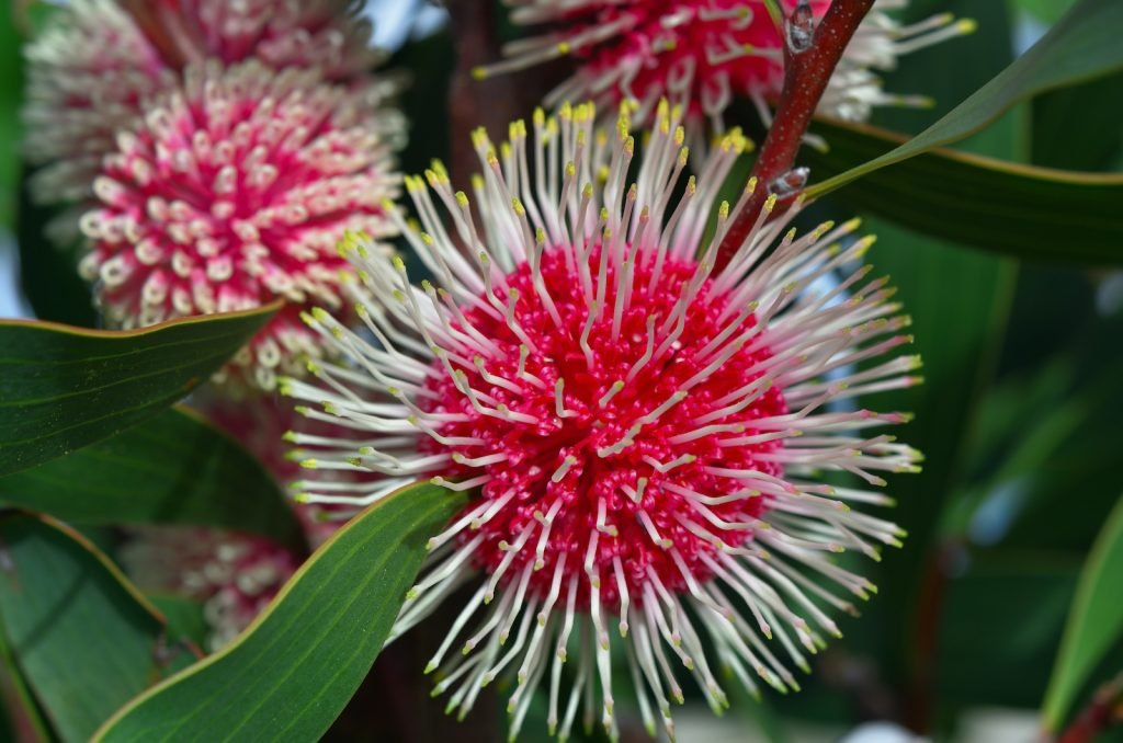 The Pin-Cushion Hakea can thrive in a wide range of soil types.