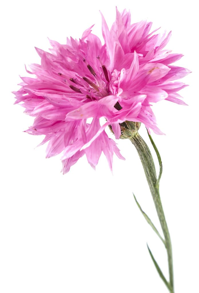Pink cornflower can be a pale baby pink to a more intense shade depending on the specific variety.