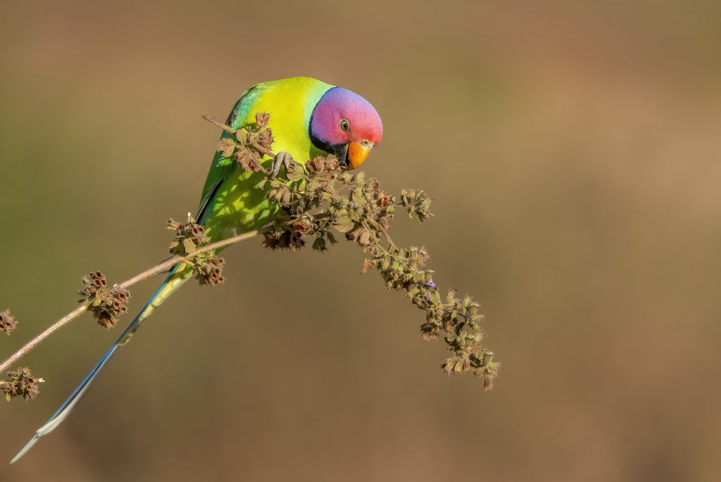 Several sources have spotted escaped plum-headed parakeets in Florida and New York.