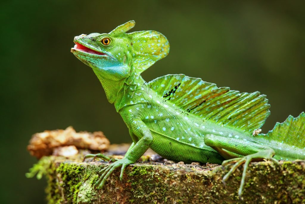 The Plumed Basilisk can run on water for very short distances.