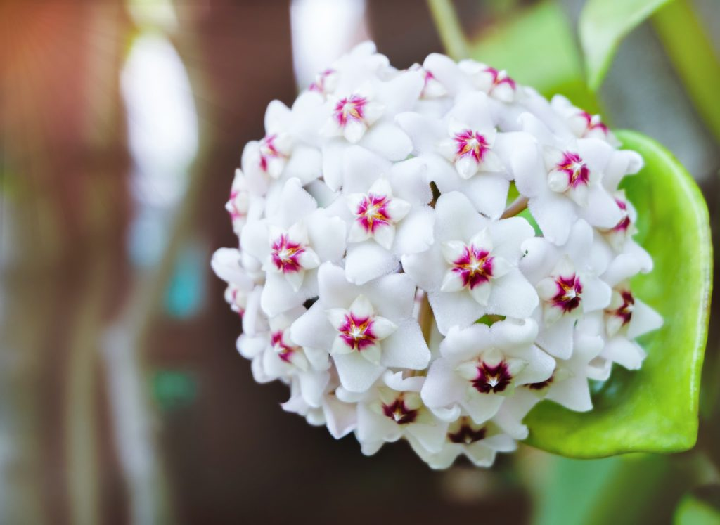 The Porcelain Flower has been cultivated for over 200 years.