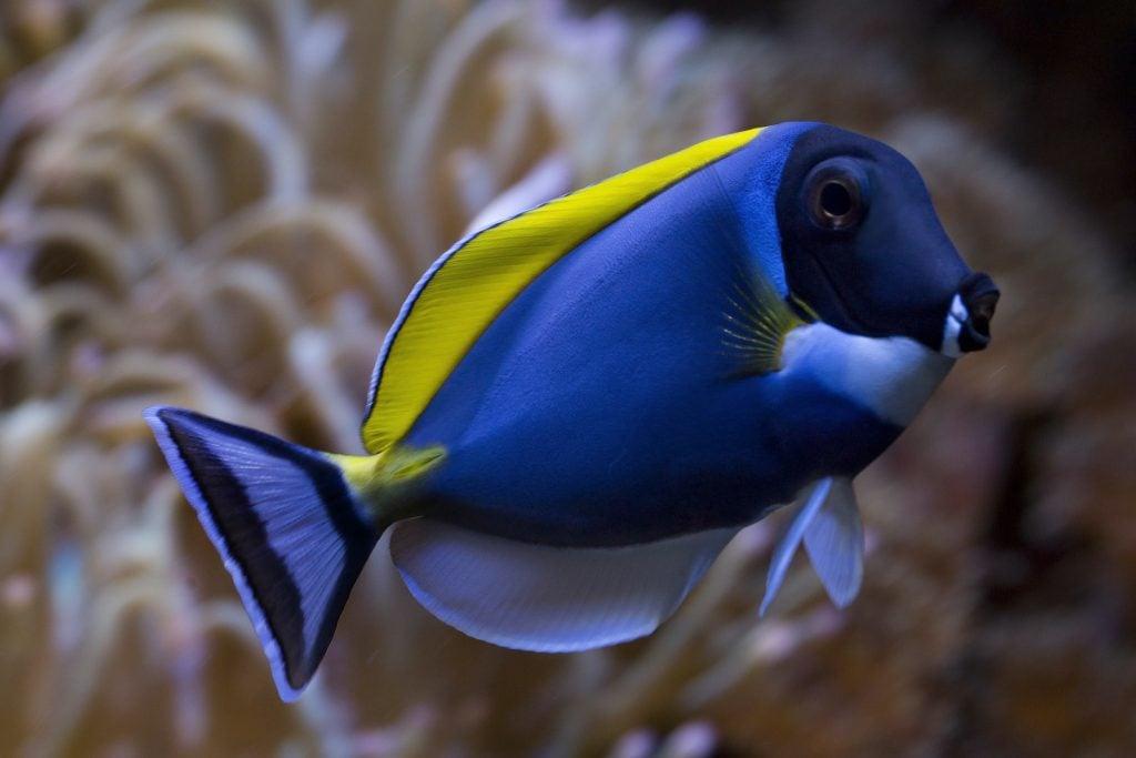 Powder Blue Surgeonfish have powder blue bodies and black heads.