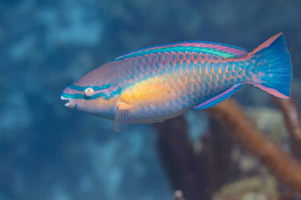 Like other parrotfish, the princess parrotfish gets its name for its beak-like jaws.