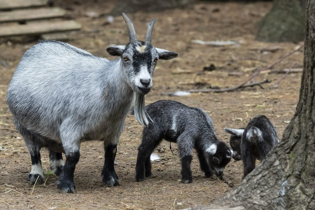 Despite their very small size, pygmy goats can produce a good bit of milk.