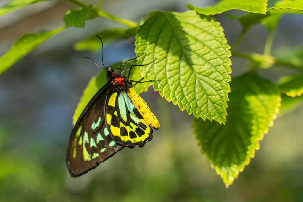The Queen Alexandra's birdwing enjoys the distinction of being the largest butterfly in the world.