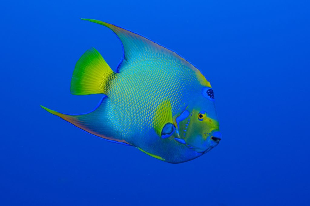 The Queen Angelfish just might be the most beautiful of all angelfish varieties.