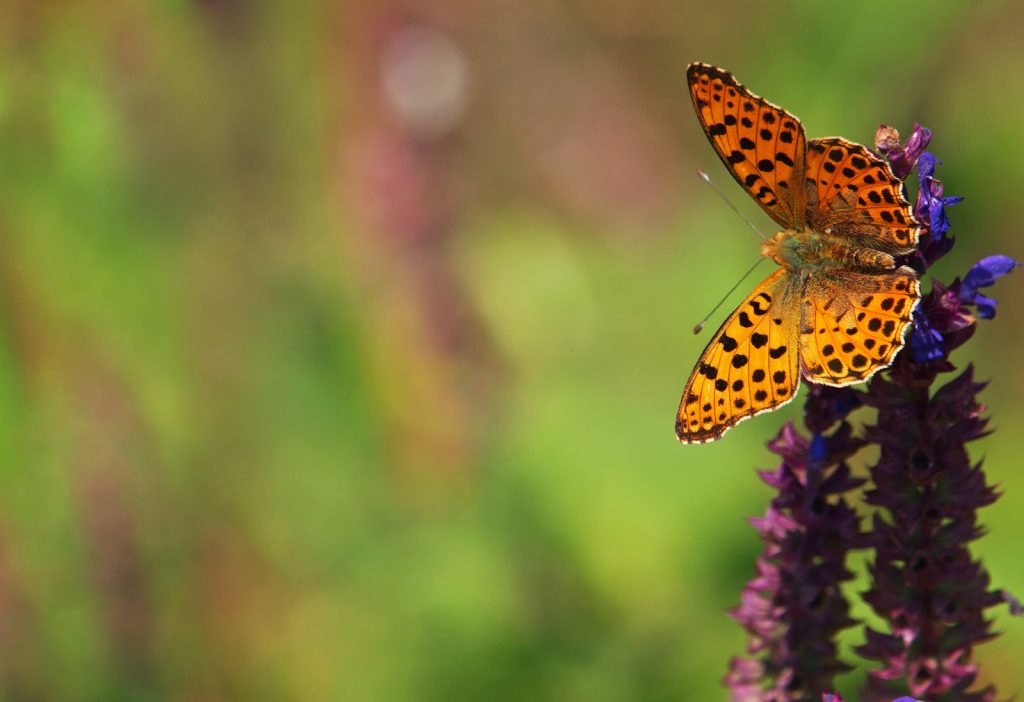 The Queen of Spain Fritillary primarily lives in open habitats in Europe, North Africa, the Canary Islands, and parts of the Palearctic.