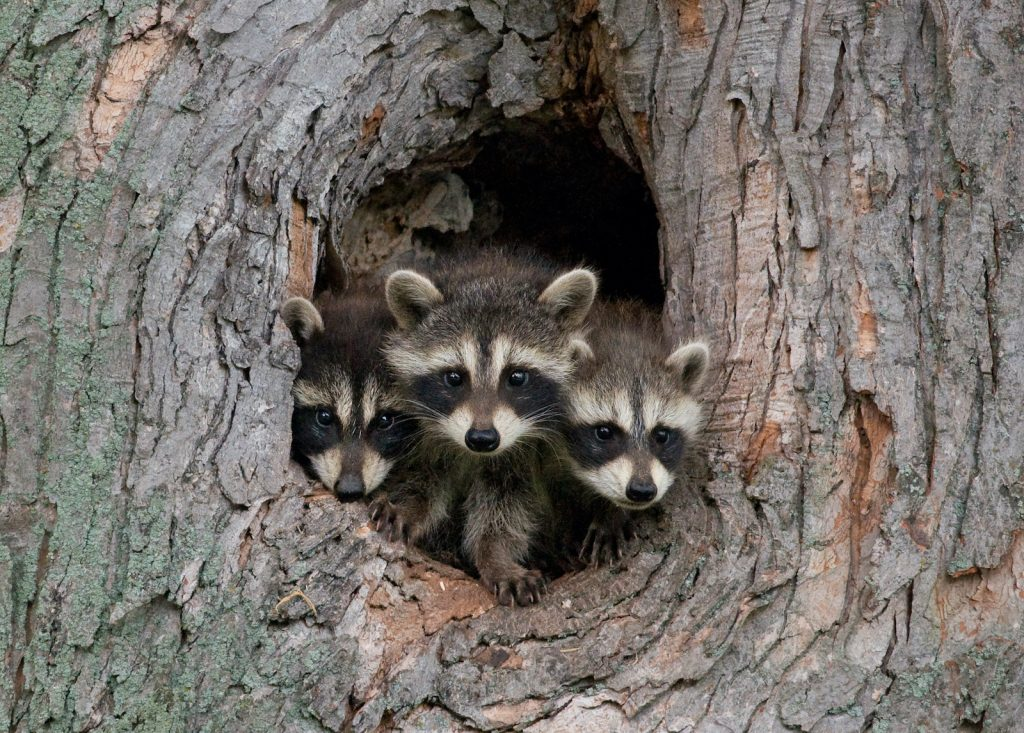 Raccoons are commonly considered to be a nuisance animal.