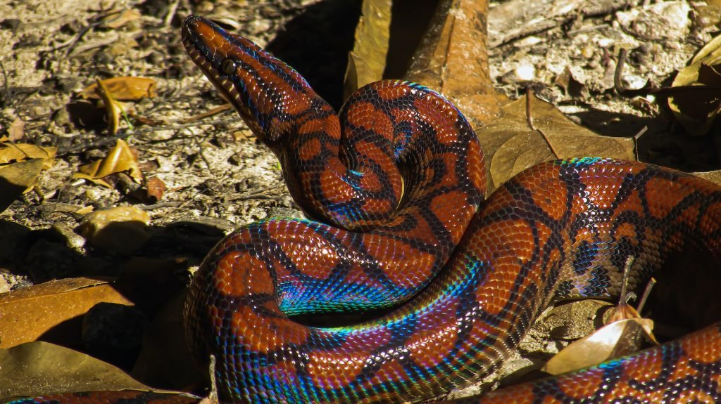 The rainbow boa's sparkling scales have made it fairly popular in the pet trade.