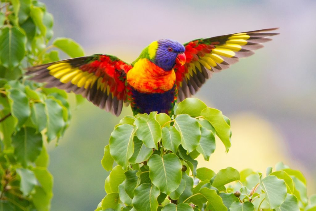No list of colorful birds is complete without the rainbow lorikeet.