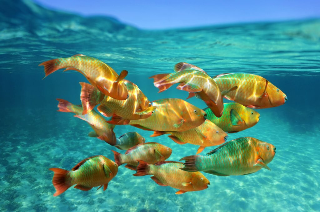 True to the name, the rainbow parrotfish is a very colorful fish that can be found in tropical areas of the Atlantic.