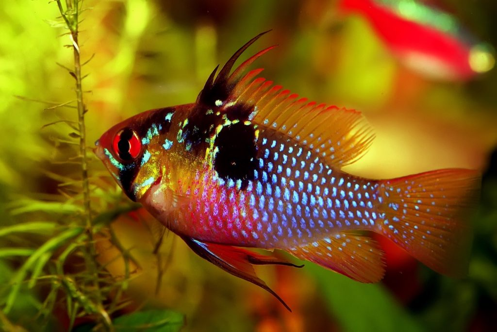 Ram cichlids are one of the few fish that tend to be brighter in the wild than they are in captivity.