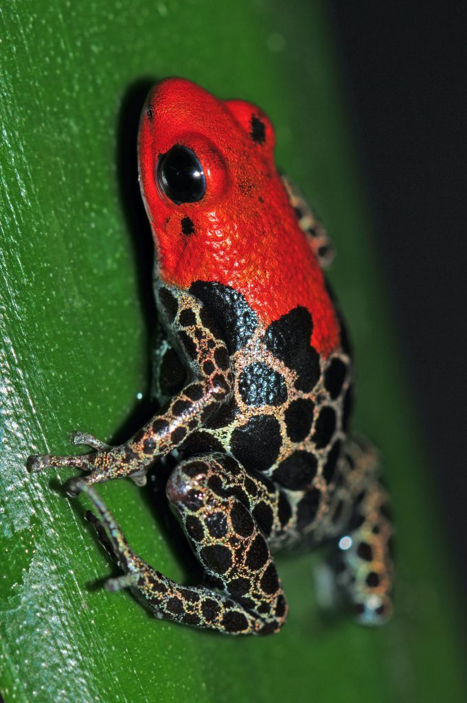 Red-Backed Poison Frogs are highly toxic to humans and can kill some smaller animals if ingested.