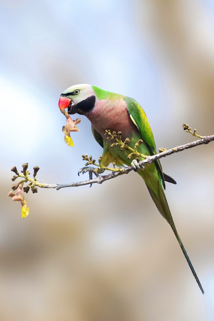The Red-Breasted Parakeet is found near Southeast Asia.