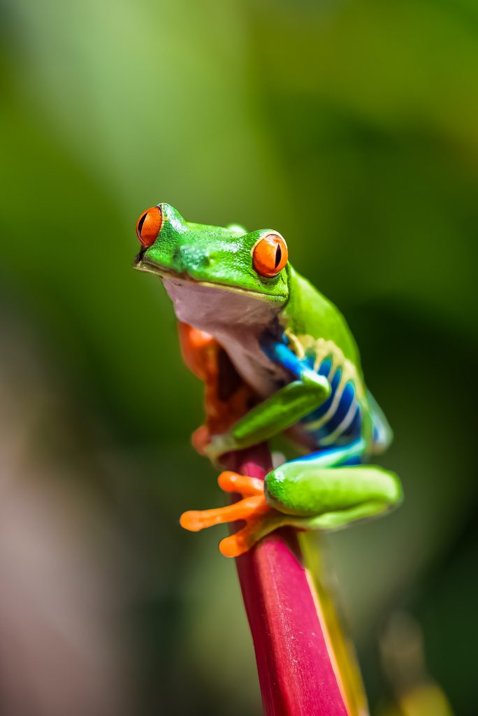 Red may seem like an unusual color for the eyes of an animal, but the eyes of the red-eyed tree frog do seem to serve a purpose.