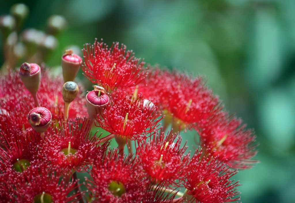The Red Flowering Gum is a type of eucalyptus.