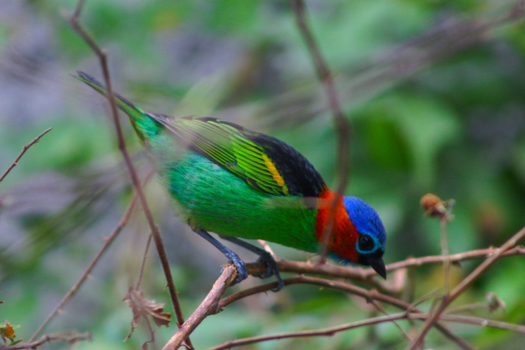 The red-necked tanager may not be quite as well known as some family members.